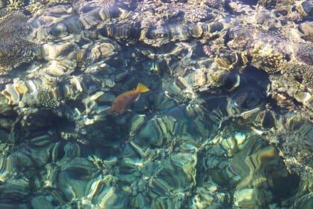 Fische im Hausriff vom Steg aus (über Wasser) - Tauchen & Schnorcheln Hausriff Soma Bay