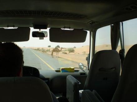 Vorsicht Kamele - Stadtrundfahrt Dubai