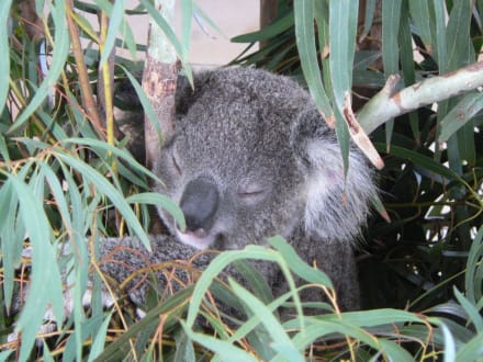 Koala im Billabong Sanctuary - Billabong Koala & Wildlife Park