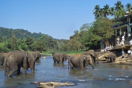 Badespaß im Fluss Maha Oya 3-4 - Elefantenwaisenhaus Pinnawela
