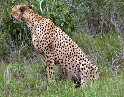 Gepard in Tsavo Ost - Geführte Touren Scida Safari Nyali Beach