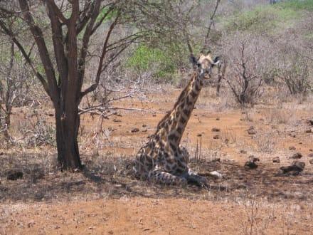 Liegende Giraffe - Tsavo West Nationalpark