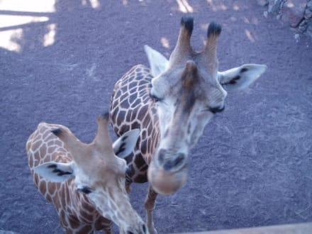 Giraffen - Oasis Park