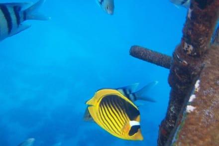 Tabakfalterfisch - Schnorcheln Sharm el Sheikh