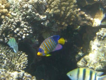 Wunderbarer Fischreichtum - Schnorcheln Ras Mohammed