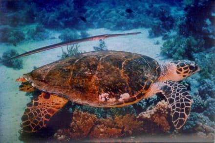 Schildkröte - Tauchen Hurghada