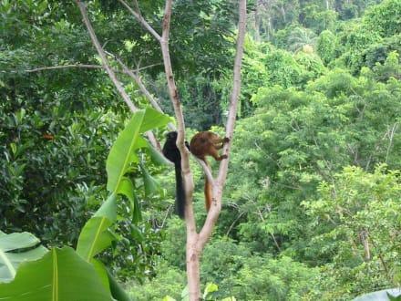 Lemurenpaar im Regenwald - Naturreservat