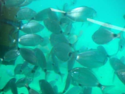 Fischschwarm - Kalypso Star
