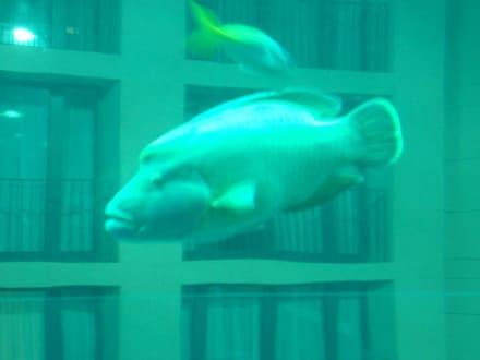 "Der ""Napoleonfisch"" im Sealife - Sea Life Center & Aquadome"