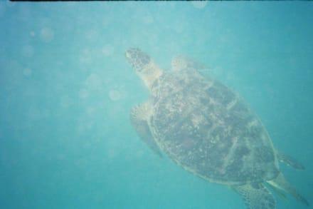 Schildkröte beim auftauchen 2 - Schnorcheln Marsa Alam