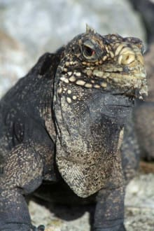 Leguan - Leguaninsel Cayo Iguana