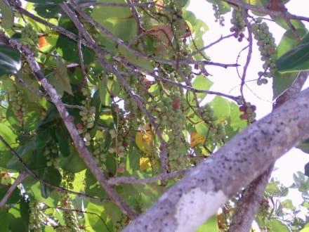 Olivenbaum - Paradies Insel