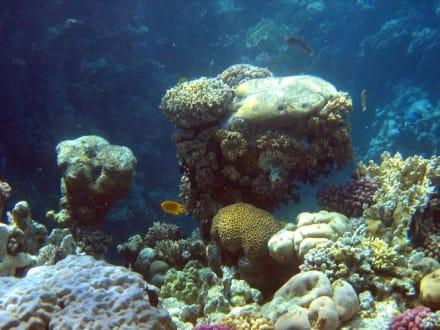 Hausriff vom Coral Beach Tiran - Tauchen Sharm el Sheikh