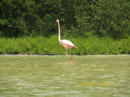 """""""Einzelgänger"""" - Flamingos von Celestun"""