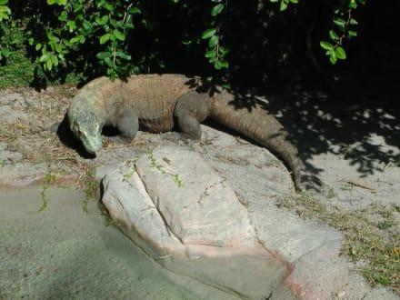 Waran - Zoo Miami