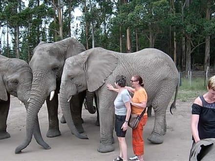 Der braucht aber Faltencreme - Knynsa Elephant Park