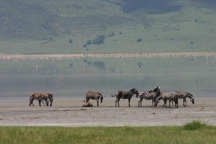 Zebras - Ngorongoro Reservat