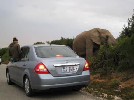 Elefant - Addo Elephant Park
