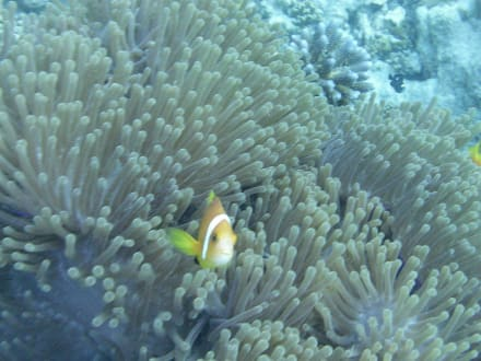 Nemo - Schnorcheln Süd-Malé-Atoll