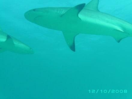 Tauchen mit Haien - Haitauchen