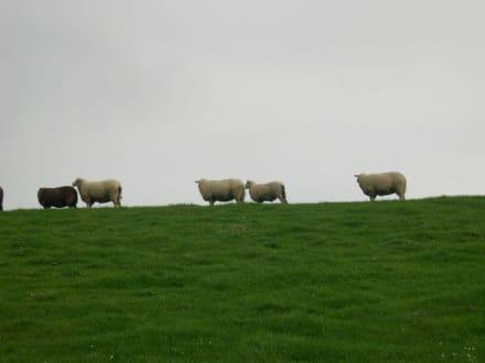 Schafe auf dem Deich - Deich Dangast
