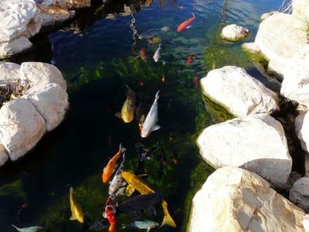 Palma Aquarium - Kois - Palma Aquarium
