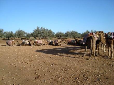 Camel Safari - Kamelreiten Sousse