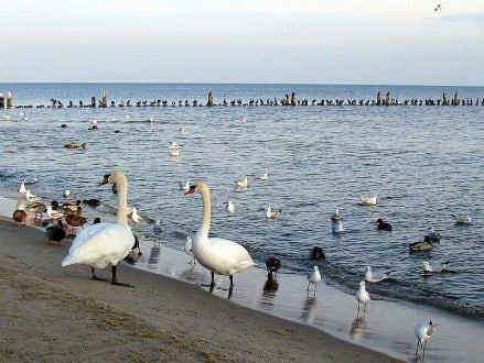 Vögel auf Usedom. - Strand Ahlbeck
