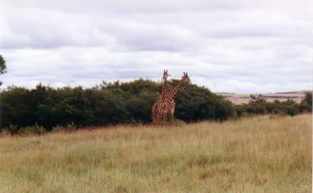 zwei Langhälse lieben sich - Masai Mara Safari