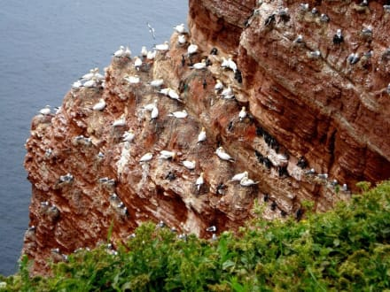 Brütende Vögel auf Helgoland - Lummenfelsen
