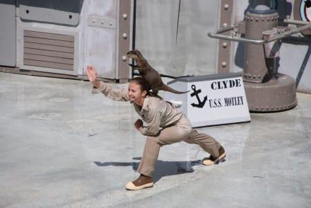 Otter gibt es auch in der Robbenshow - Sea World