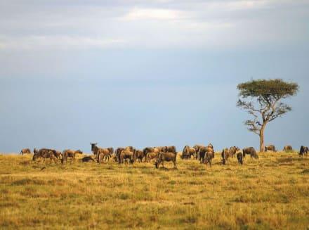 Auf Safari - Masai Mara Safari