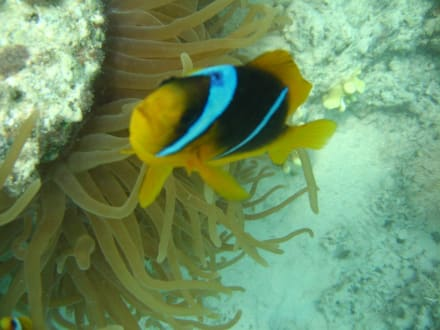 Clownfisch - Tauchen Marsa Alam
