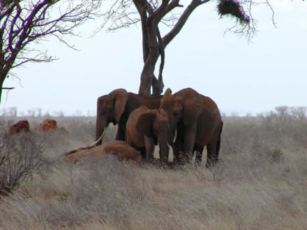 Gruppe von Elefanten - Tsavo Ost Nationalpark