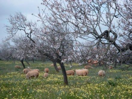 Mandelblüte auf Mallorca - Mandelblüte