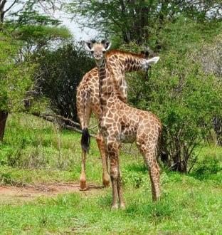 Giraffe mit Kind - Geführte Touren Scida Safari Nyali Beach