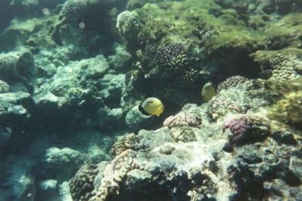 Die Fische am Hausriff - Schnorcheln Makadi Bay