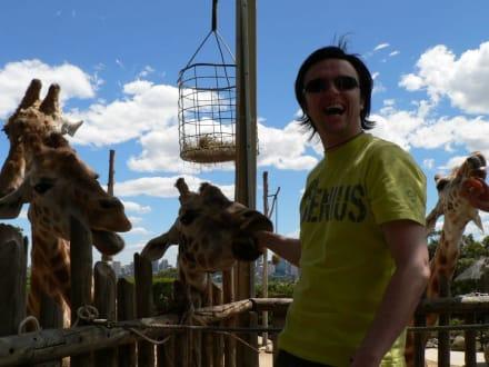 Blinde Giraffen küssen nass! - Taronga Zoo