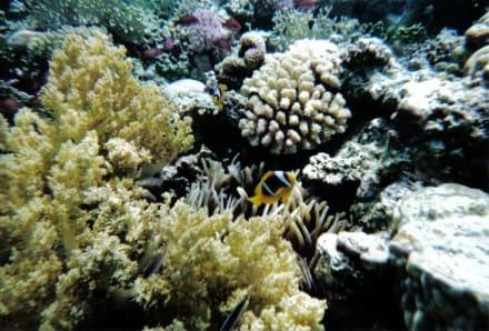 Nemo - Schnorcheln Nabq Bay