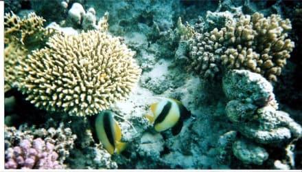 Unterwasserwelt - Tauchen Safaga