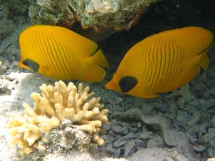 Maskenfalterfisch am Hausriff Hotel Carnelia Beach Resort - Tauchen Marsa Alam