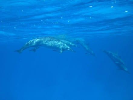 Delphine - Delfin Tour Marsa Alam
