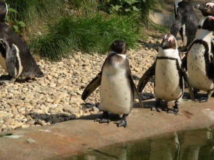 Pinguine - Burgers' Zoo