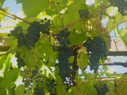 Sind das Weintrauben? - Buschenschank Schleiss