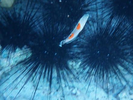 Seeigel, Clown-lippfisch - Schnorcheln Hausriff Radisson Resort El Quseir