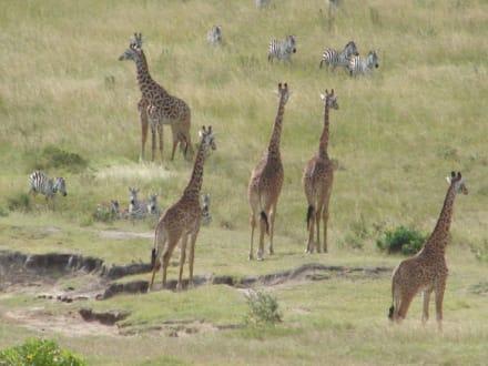 Giraffenherde - Masai Mara Safari