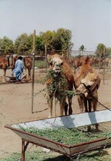 Suwaiq Camel Breeding Center - Kamelfarm Barka