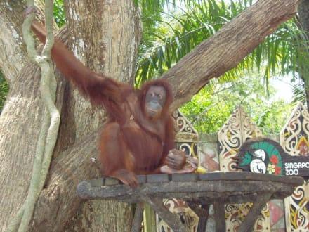 Affe - Singapur Zoo