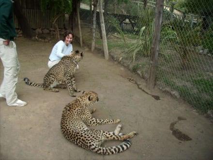 Geparden streicheln - Cango Wildlife Ranch