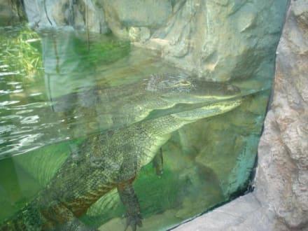 Alligator - Loro Parque